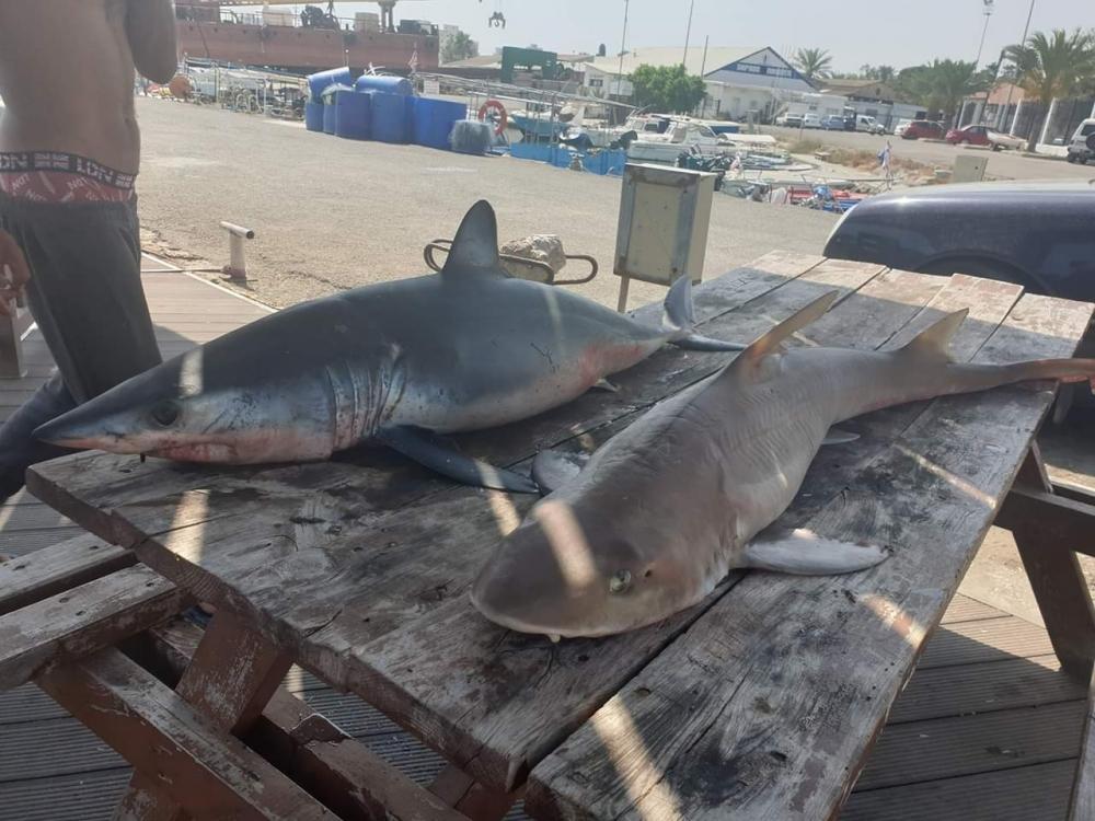 Mağusa'da köpek balığı galerisi resim 2