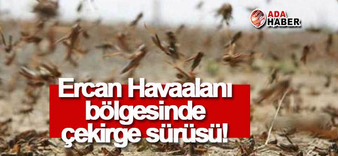Ercan Havaalanı bölgesinde çekirge sürüsü!