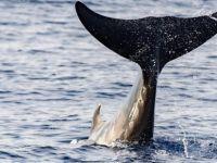 Kıbrıs sularında 5 çeşit balina ve yunus yaşıyor