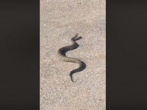 Gufi yılanı Girne'de görüntülendi